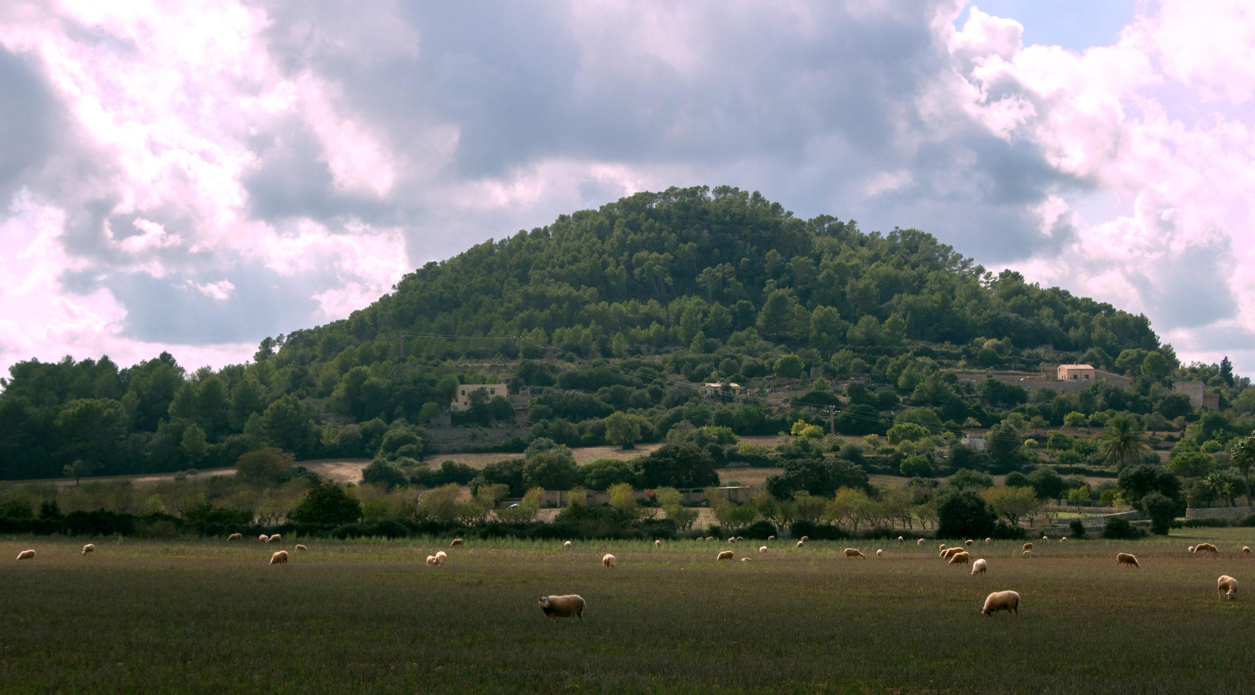 Schafe Feld Mallorca scaled