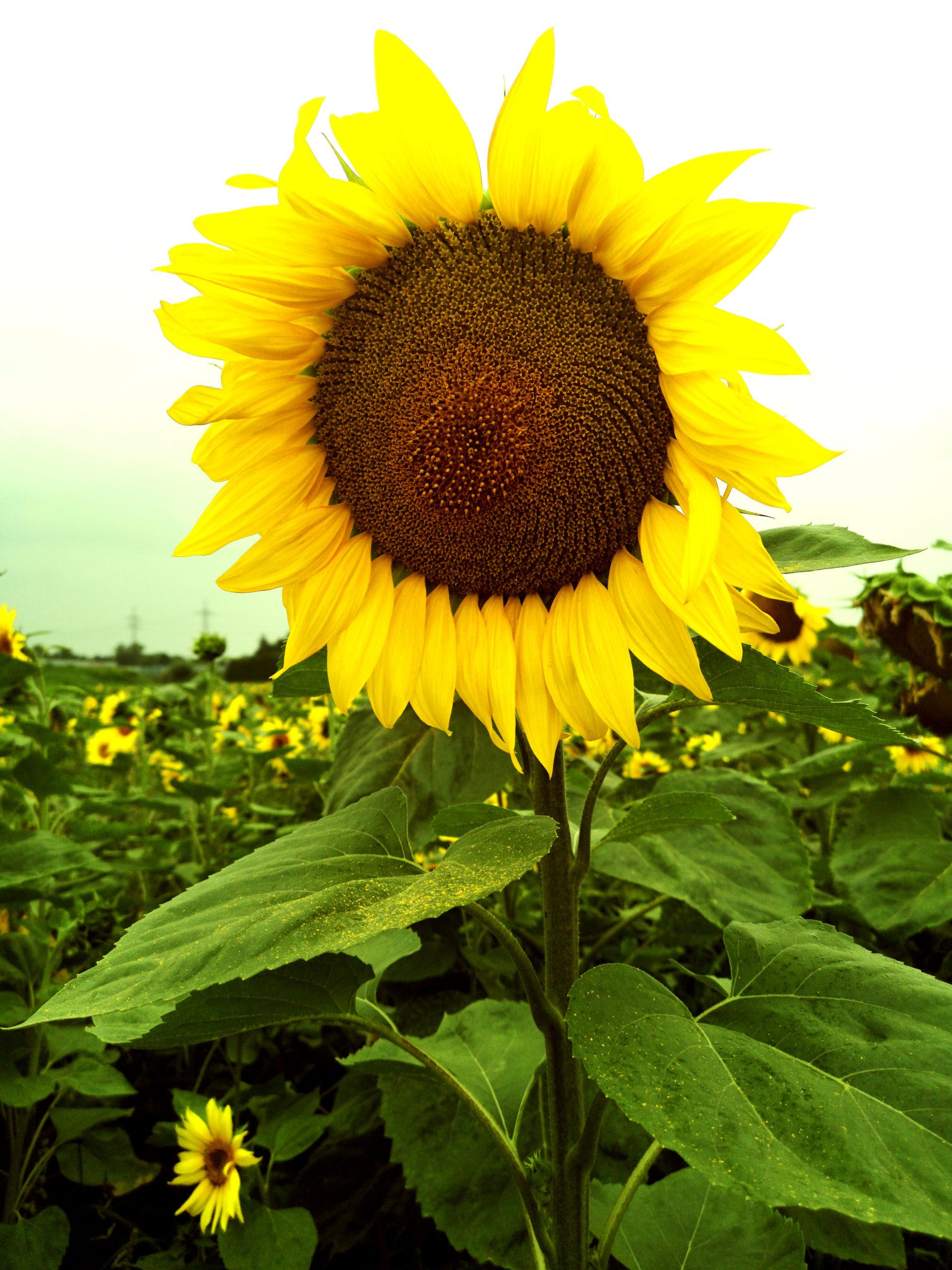 Sonnenblumenfeld scaled